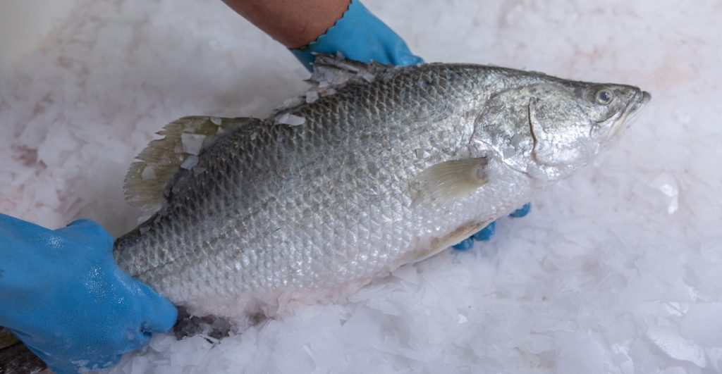 Barramundi on Ice